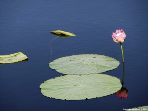 Lotus Reflection in Water 5 Copyright