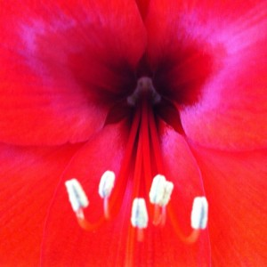 Red Amaryllis Closeup, photo by Lucinda Marshall, © 2014