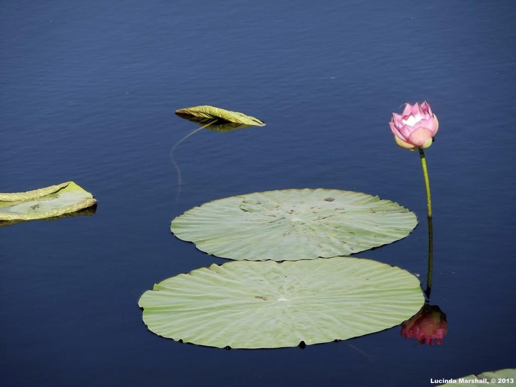 Lotus Reflection in Water 5 Copyright