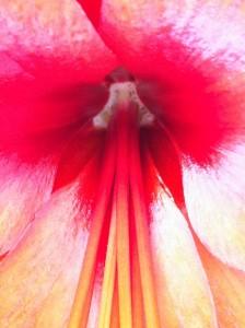 Red Amaryllis, photo by Lucinda Marshall, © 2014